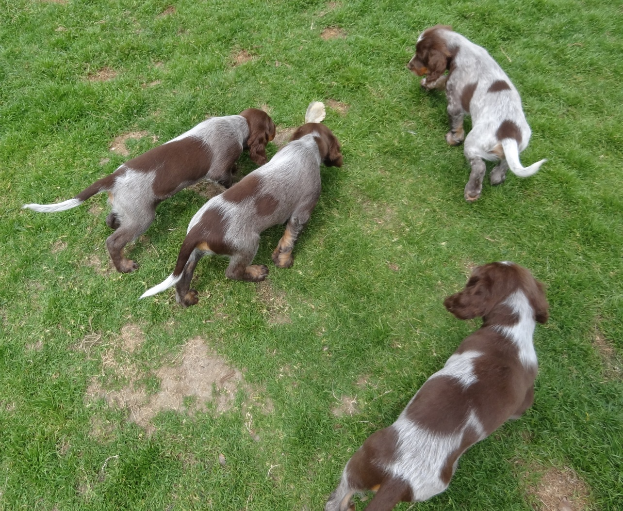 Chiots dolly