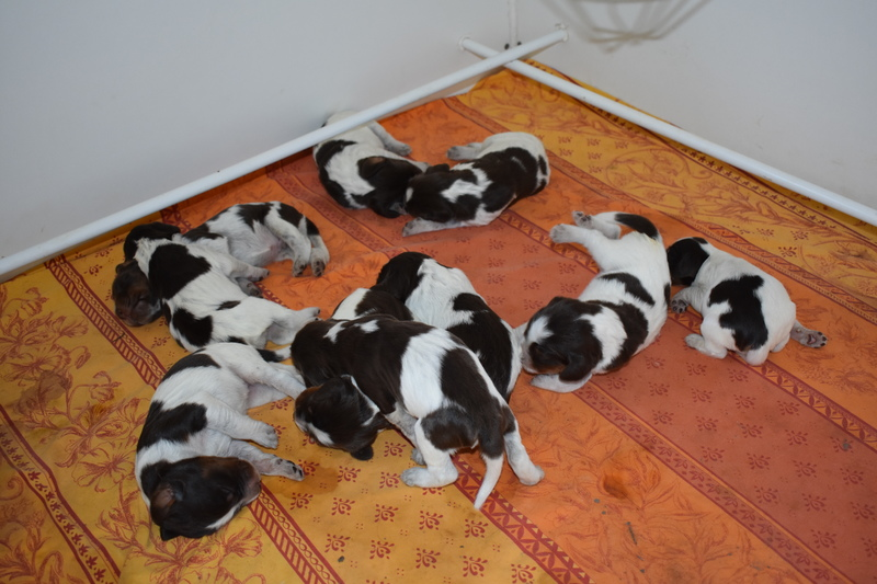 Chiots Gina 8 jours