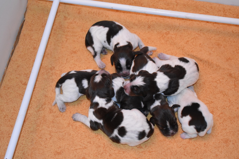 Chiots Gina 3 jours
