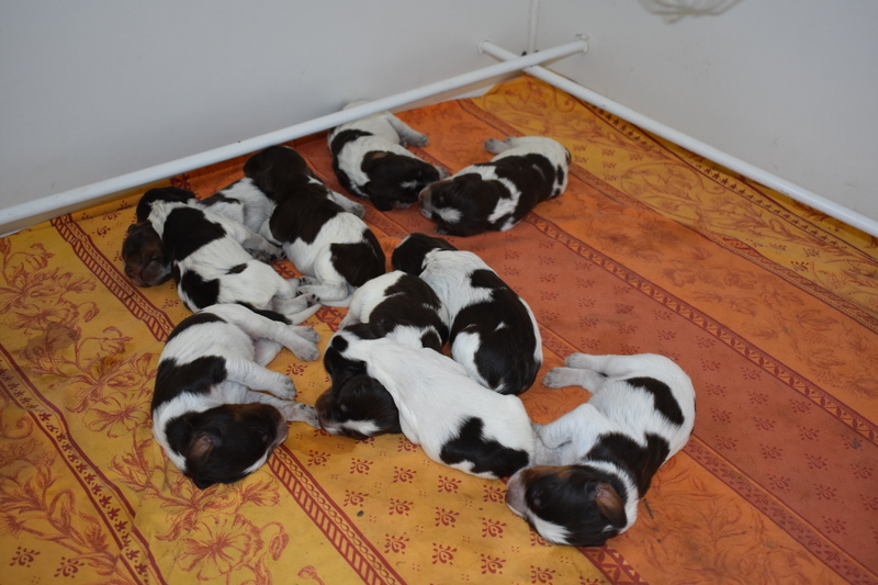 Chiots Gina 15 jours