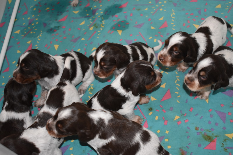 Chiots Gina 21 jours