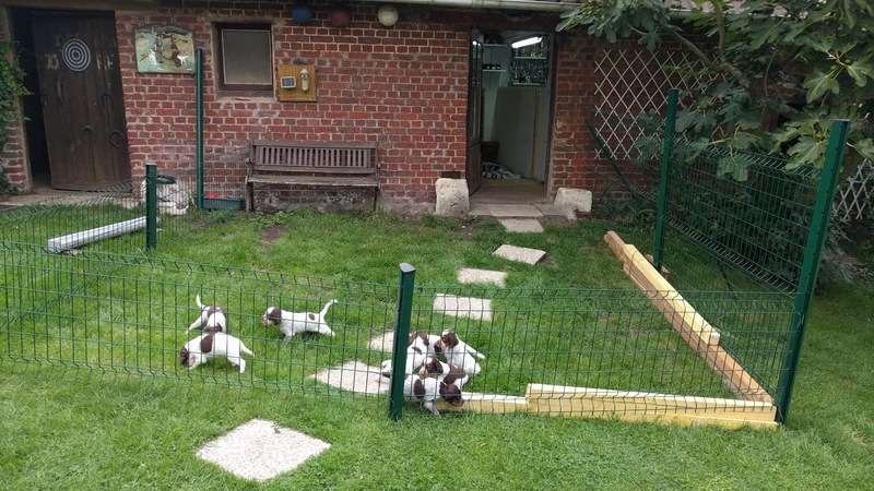 chiots Jazz 1 mois