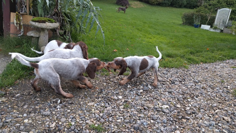 chiots Jazz 8 semaines